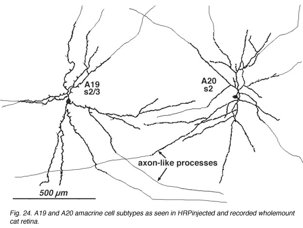 Roles Of Amacrine Cells By Helga Kolb