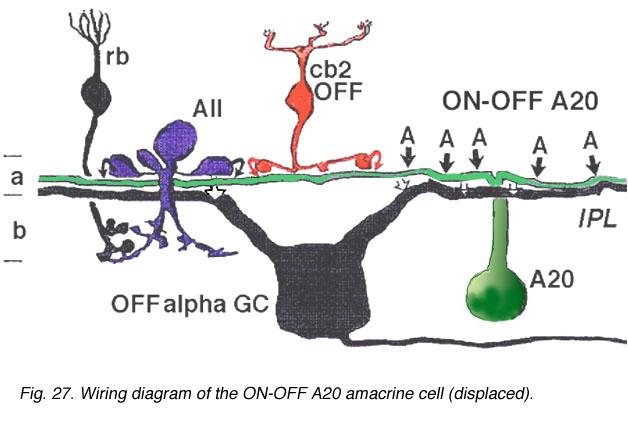 roles of amacrine cells by helga kolb  u2013 webvision
