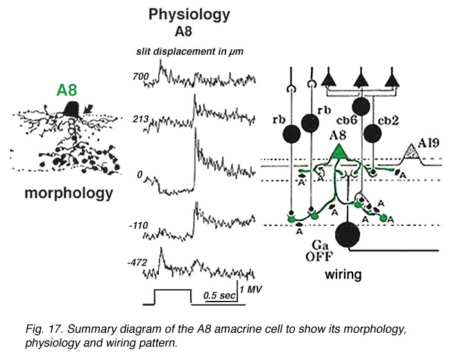 Roles of amacrine cells by helga kolb webvision summary diagram of the a8 amacrine cell ccuart Images