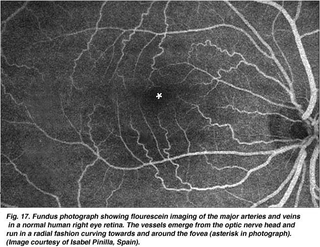 Simple Anatomy Of The Retina By Helga Kolb Webvision