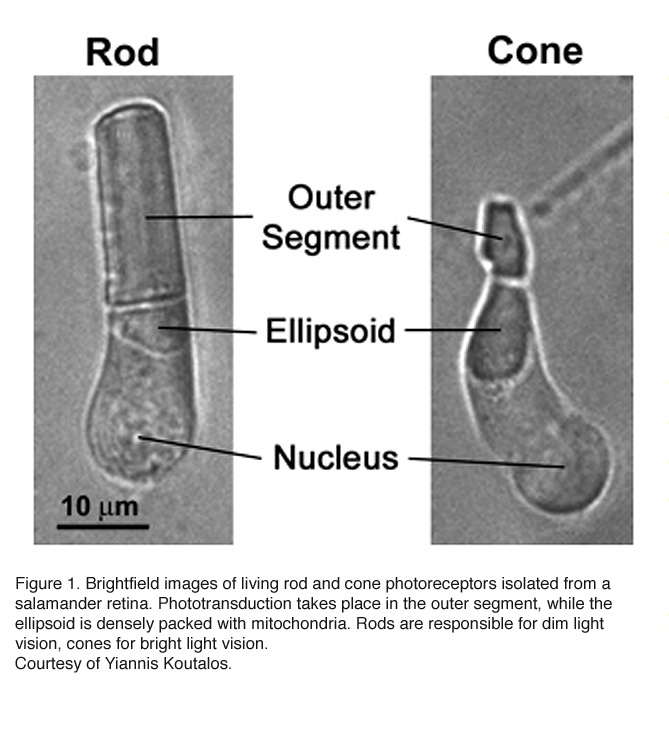 Phototransduction in Rods and Cones by Yingbin Fu – Webvision