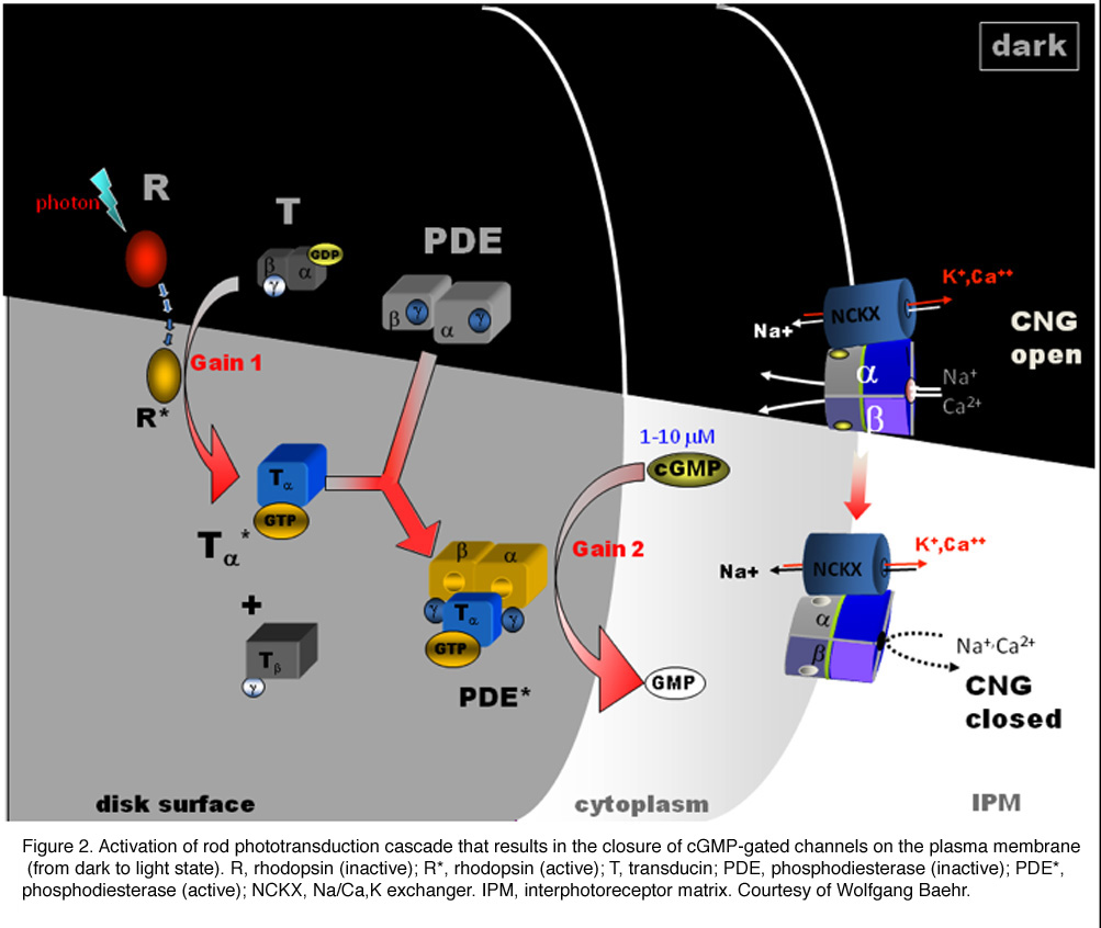 Phototransduction In Rods And Cones By Yingbin Fu Webvision