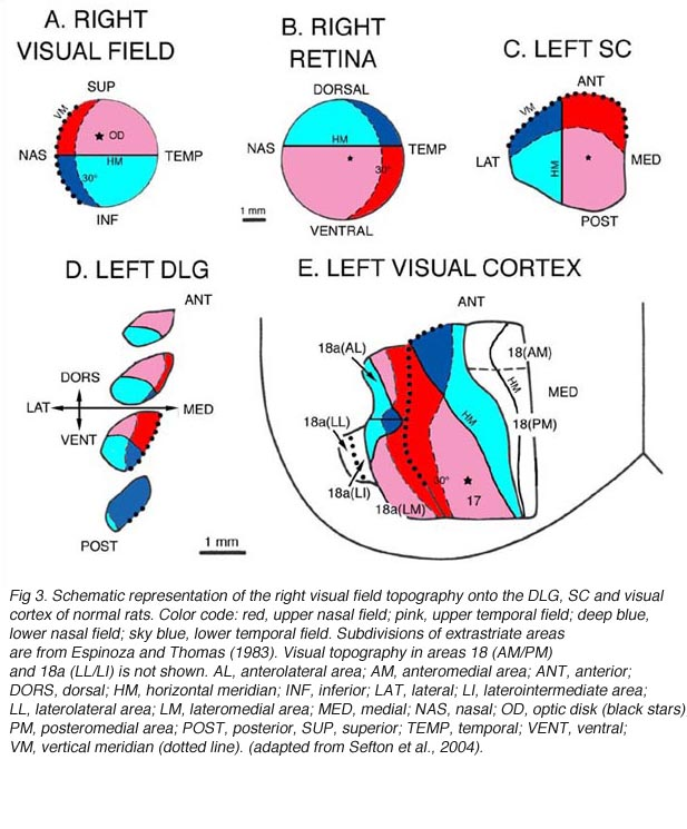 Visual Cortex http://webvision.med.utah.edu/book/part-x-primary-visual-cortex/fetal-tissue-allografts-in-the-central-visual-system-of-rodents/