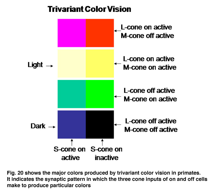 Color Vision By Peter Gouras Webvision