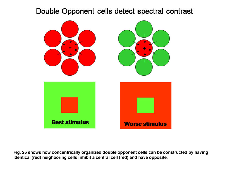 25 Shows How Concentrically Organized Double Opponent Cells Can Be Constructed By Having Identical Red Neighboring Inhibit A Central Cell And