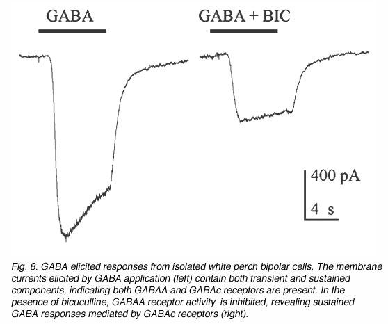 Gabac Receptors In The Vertebrate Retina By Haohua Qian Webvision