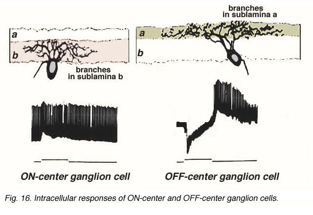 Inner plexiform layer by helga kolb webvision intracellular recordings of on center and off center ganglion cells ccuart Images
