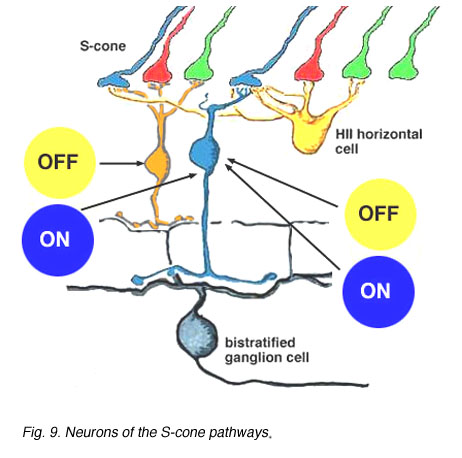 S cone pathways by helga kolb webvision neurons of the s cone pathways ccuart Images