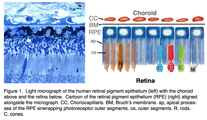 The retinal pigment epithelium by Olaf Strauss – Webvision
