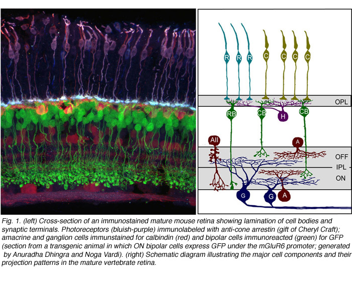 Development Of Cell Types And Synaptic Connections In The Retina By