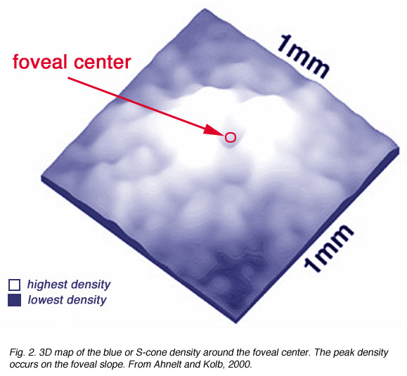 s cone pathways by helga kolb webvision fig 2 3d map of the blue or s cone density around the foveal center the peak density occurs on the foveal slope from ahnelt and kolb 2000