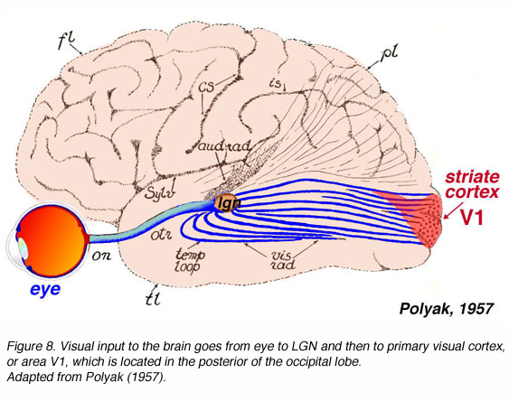 The primary visual cortex by matthew schmolesky webvision visual input to the brain goes from eye to lgn and then to primary visual cortex or area v1 which is located in the posterior of the occipital lobe ccuart Gallery