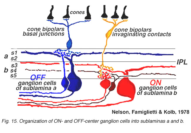 Ganglion cell physiology by ralph nelson webvision stratification of on and off center ganglion cells within the inner plexiform layer nelson et al 1978 ccuart Gallery