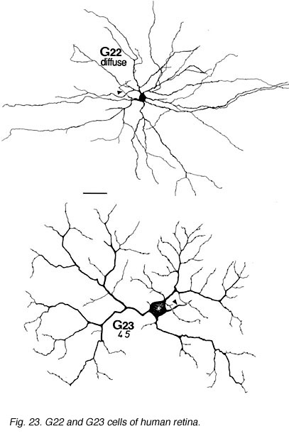 Morphology And Circuitry Of Ganglion Cells By Helga Kolb