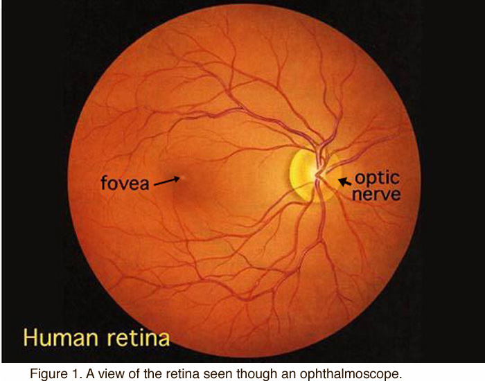 Simple Anatomy Of The Retina By Helga Kolb Webvision