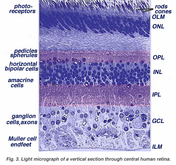 a group of nerve cell bodies ganglion.