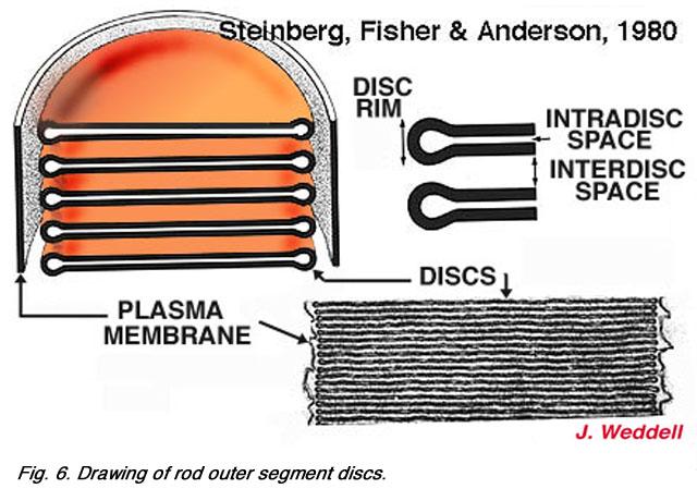 Photoreceptors by Helga Kolb ndash Webvision