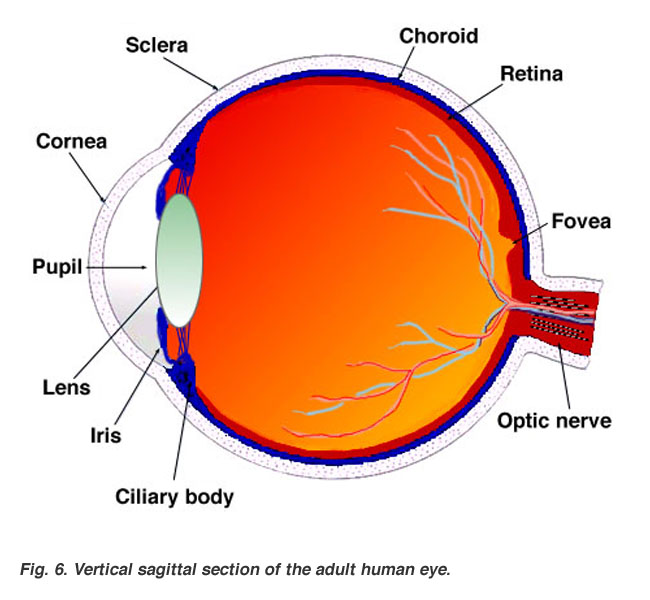 Gross anatomy of the eye by helga kolb webvision sagittal section of the adult human eye ccuart Gallery