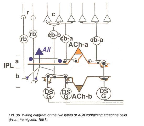 roles of amacrine cells by helga kolb webvision rh webvision med utah edu
