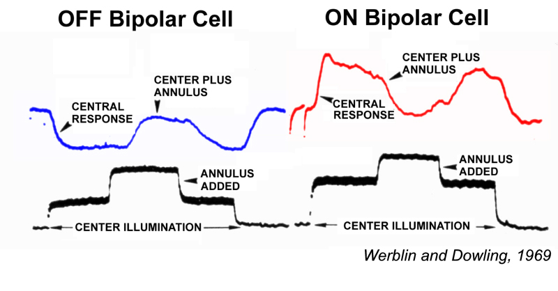 Bipolar cell pathways in the vertebrate retina by ralph nelson and retinal bipolar cells initiate on and off pathways microelectrode recordings of voltage responses from mudpuppy retinal neurons reveal two sorts of retinal ccuart Images