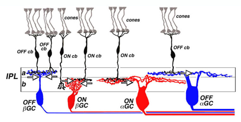 bipolar cell pathways in the vertebrate retina by ralph nelson and Blind Spot Diagram layering of on and off bipolar cell axons in the cat inner plexiform layer (ipl) off ganglion cell (�gc and �gc) dendrites and off cone bipolar cell axons