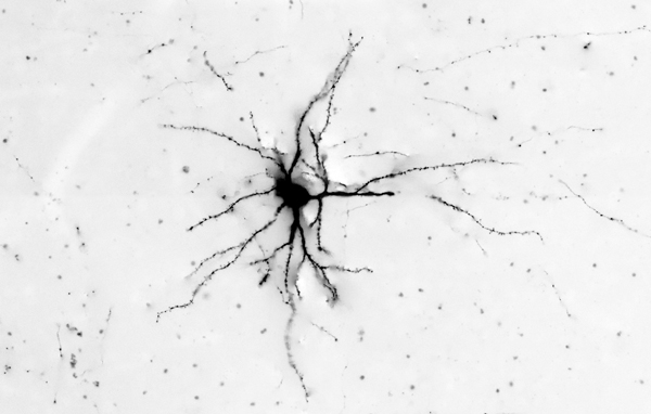 Visual-cortex-neuron
