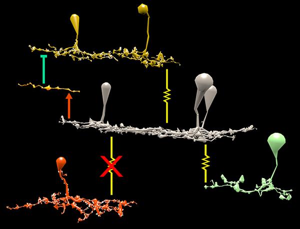 Bipolar cells_