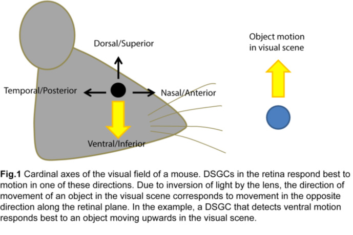 The Anatomy and Physiology of Direction-Selective Retinal Ganglion ...