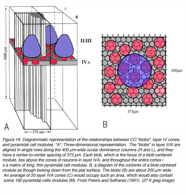 The Primary Visual Cortex by Matthew Schmolesky – Webvision