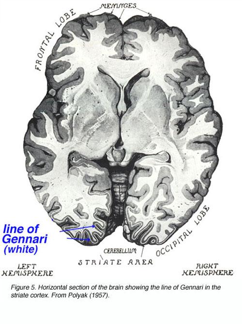 The Primary Visual Cortex by Matthew Schmolesky - Webvision