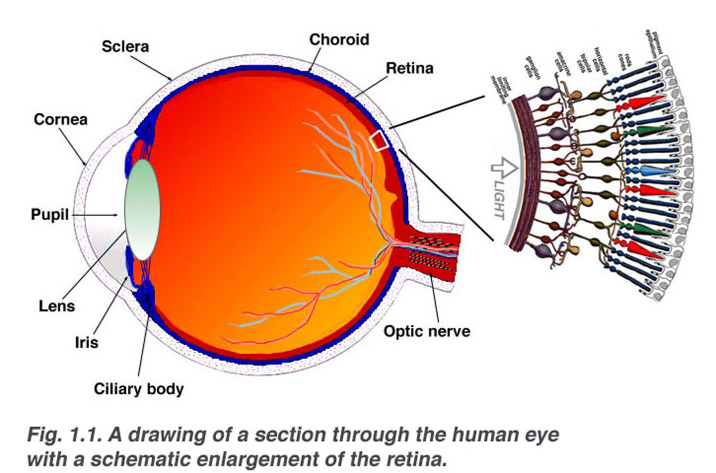 a schematic section through the human eye with a schematic enlargement of  the retina