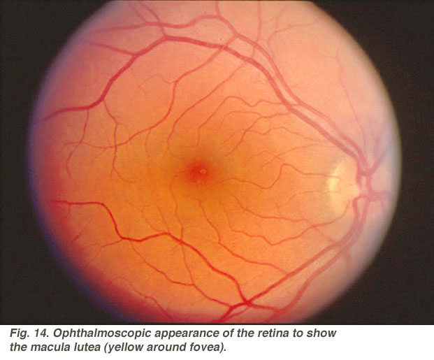 Simple Anatomy of the Retina by Helga Kolb – Webvision